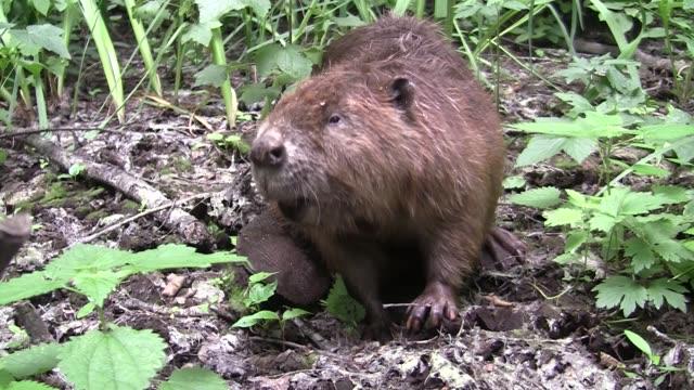 Castor, manger en milieu naturel - Vidéo