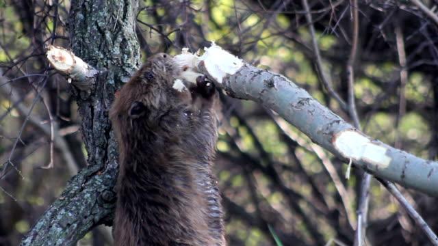 Beaver manger Montage - Vidéo