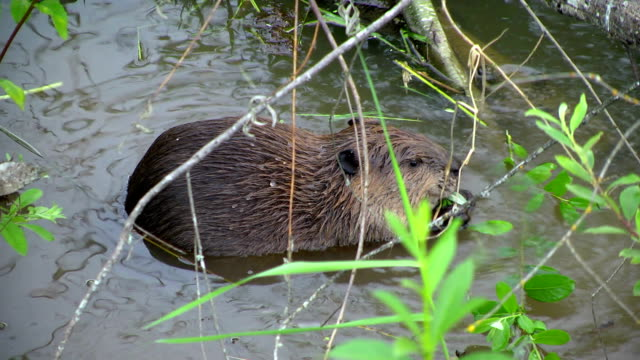 Beaver Essen und erreicht sie sich für mehr. – Video