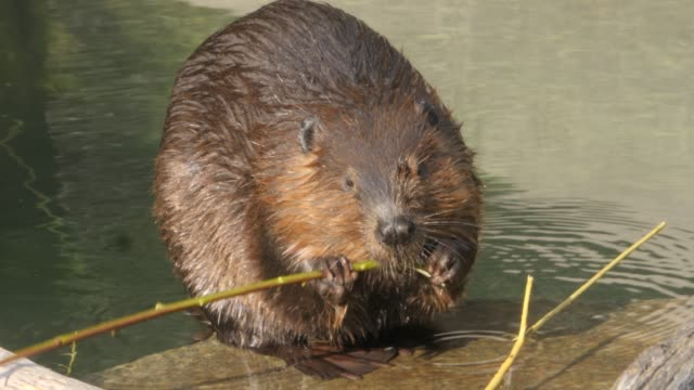 Beaver gnawing on a stick video