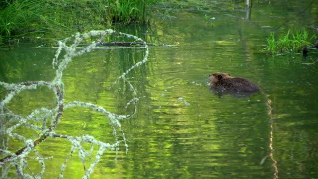 Beaver de Étang - Vidéo