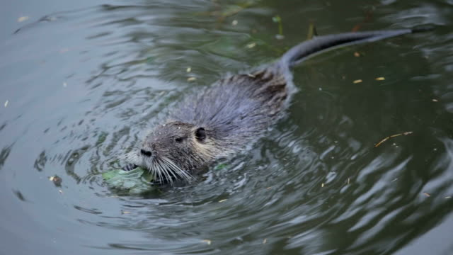 Beaver in the water video