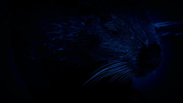 Castor se déplacer dans l'eau pendant la nuit - Vidéo