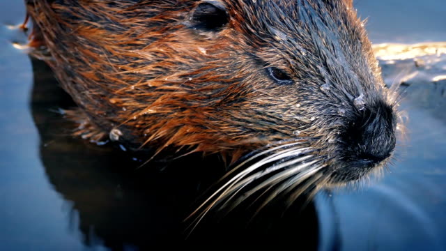 Beaver déplacer dans l'eau - Vidéo