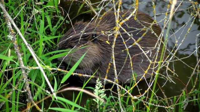 Beaver Häppchen auf Blätter und schwimmt entfernt – Video