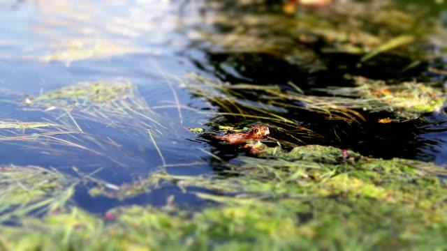 beaver nager à contre-courant - Vidéo