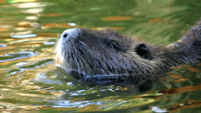Beaver la piscine - Vidéo