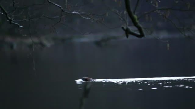 Castor (Castor fiber) nage en travers du corps sombre de l'eau - Vidéo