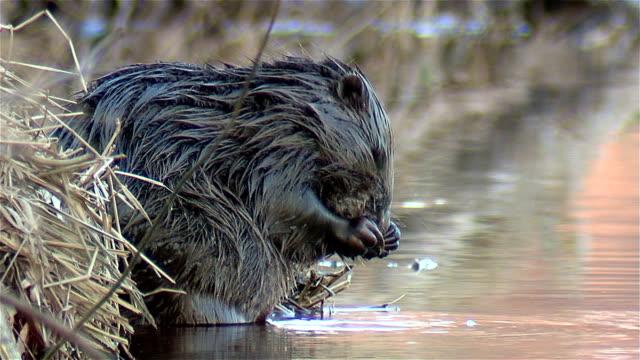 Beaver lavages. - Vidéo