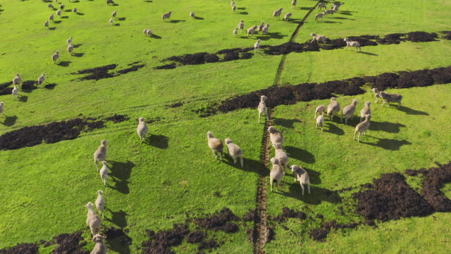 Because no animal deserves to be in a cage 4k drone footage of a herd of sheep on a field paddock stock videos & royalty-free footage
