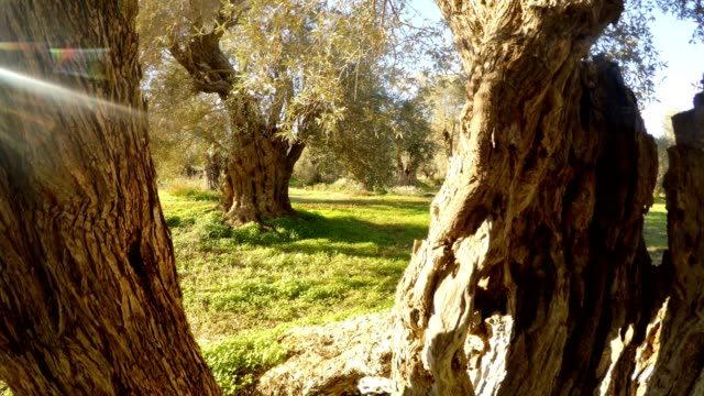 because of the trunk of an ancient olive tree, a winter garden is visible, in warm regions, a panorama, rays of the sun in a frame video