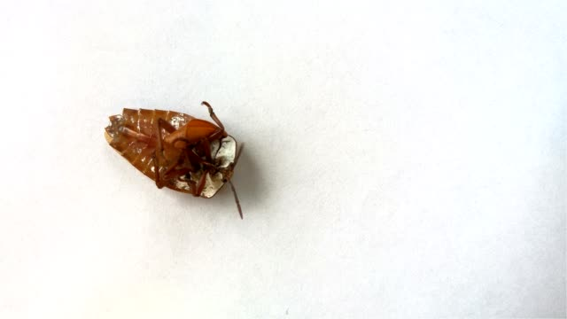 Bed Bug Flip Over And Tidy Up Its Wings Stock Video More Clips Of