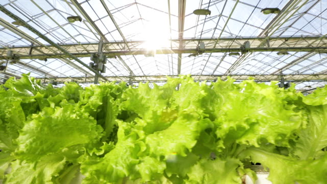 A bed with a green salad in a large greenhouse. The camera moves along the bed video