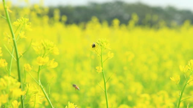 Bee and mustard yellow flower on field. video