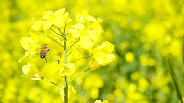 Bee and rapeseed flowers, slow motion Bee and rapeseed flowers, slow motion arthropod stock videos & royalty-free footage