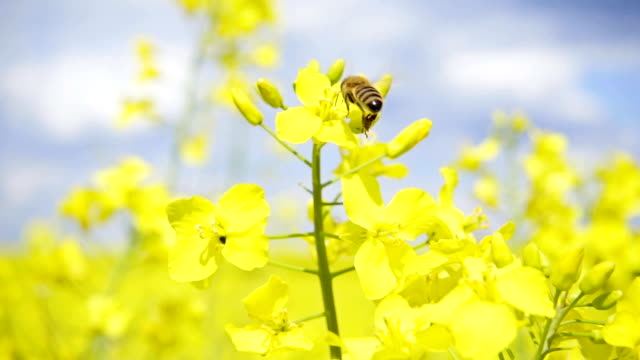 Bee and rapeseed flowers, slow motion video
