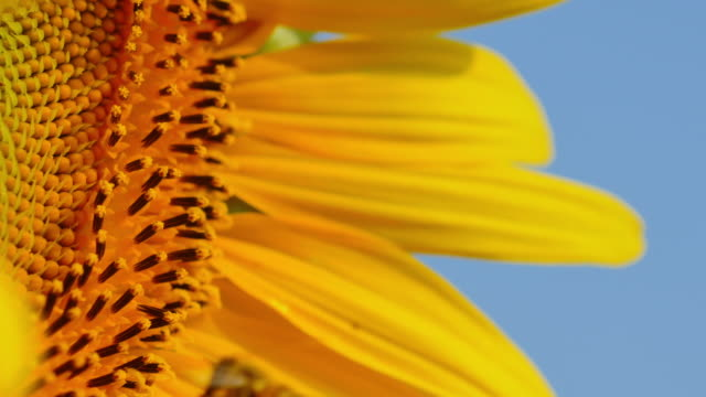 Biene fliegen und labt sich auf Sonnenblume. – Video