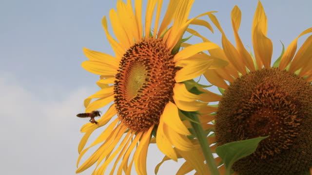 пчела, летающий - sunflower стоковые видео и кадры b-roll