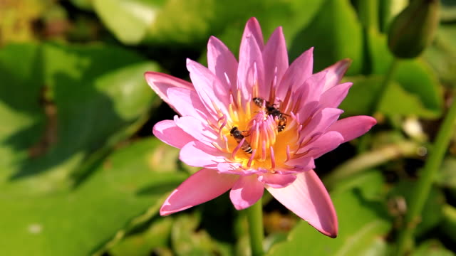 Bee climb on pink lotus flower - vídeo