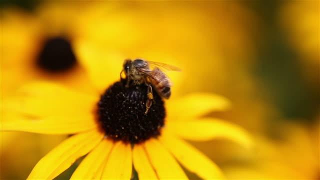 Bee Close Up on Daisy