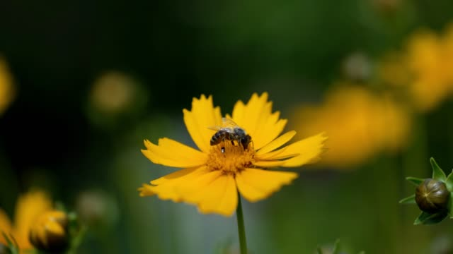 bee close-up collects pollen on a bright yellow flower of coreopsis. - coreopsis lanceolata video stock e b–roll