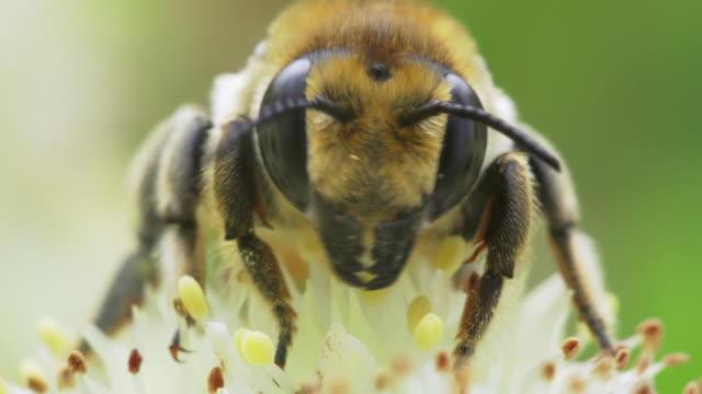 bee close-up - pszczoła filmów i materiałów b-roll