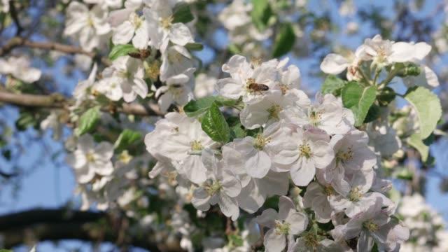 bee samla honung på apple blossom - äppelblom bildbanksvideor och videomaterial från bakom kulisserna