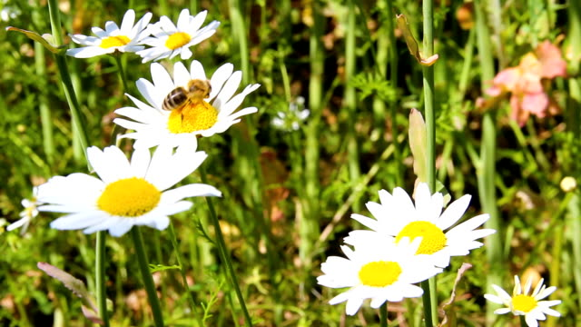Bee collect nectar on snow lady blossom, leucanthemum flower