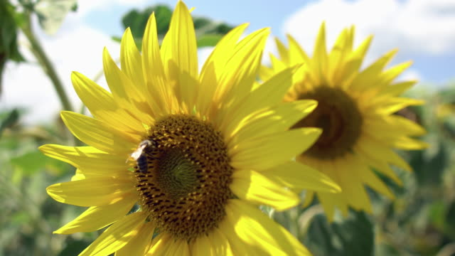 bee collect nectar on sunflower on a meadow agriculture field - stame video stock e b–roll