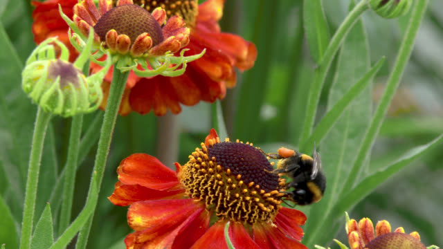 Bee collecting pollen from a flower A bumblebee collecting pollen from a flower in a Scottish garden in south west Scotland on a summer day dumfries and galloway stock videos & royalty-free footage