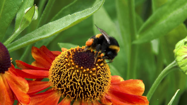Bee collecting pollen from a flower A bumblebee collecting pollen from a flower in a Scottish garden in south west Scotland on a summer day pollen stock videos & royalty-free footage