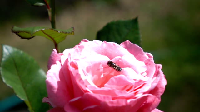 bee collecting pollen from a rose flower video