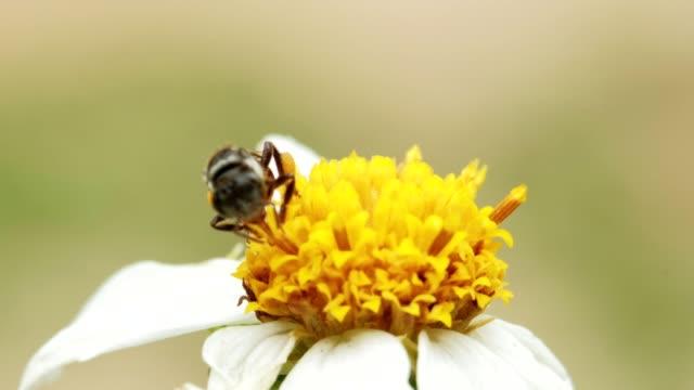 vídeos y material grabado en eventos de stock de ฺฺesciendo polen de una flor amarilla. macro shot - insecto himenóptero