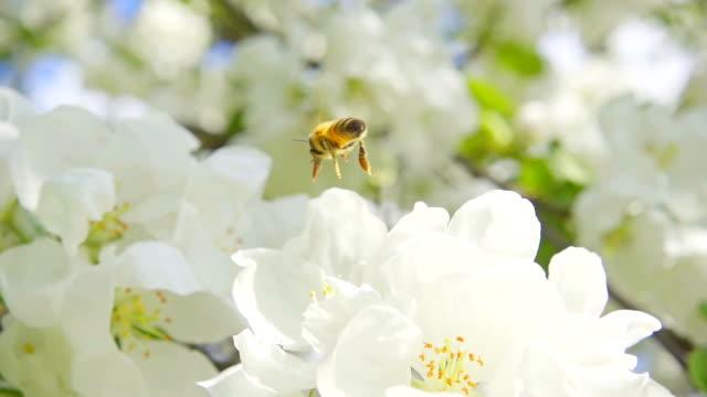 ett bi som samlande pollen från blommor av apple, slowmotion - äppelblom bildbanksvideor och videomaterial från bakom kulisserna