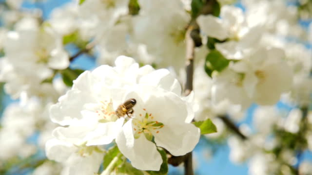 A bee collecting pollen from flowers of apple, slow motion video