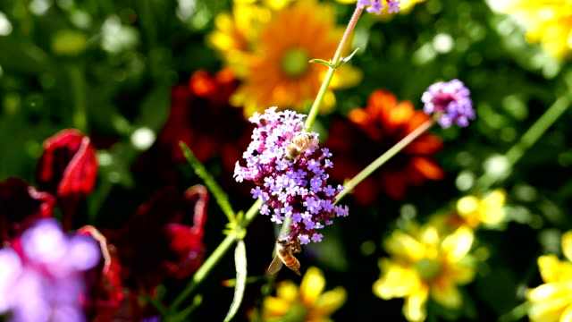 Bee collecting pollen on purple flower – Video