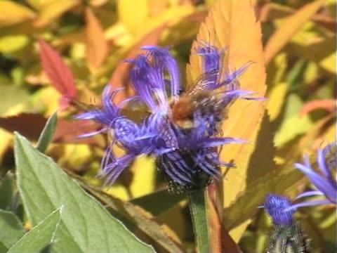 vídeos y material grabado en eventos de stock de bee recogida de polen de stokes'áster - insecto himenóptero