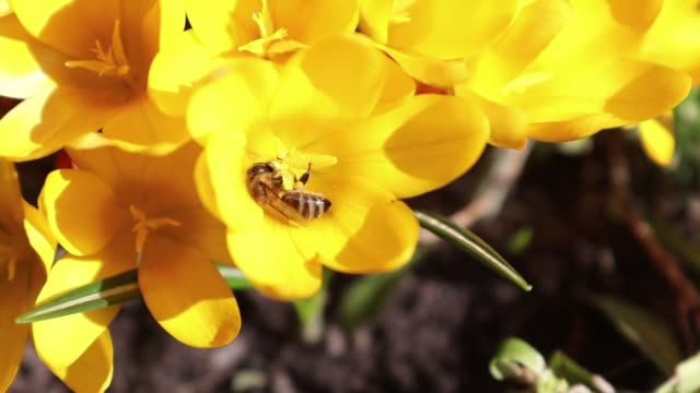 Bee collects nectar and flies. Yellow blooming crocuses in light breeze. Sunny day. video