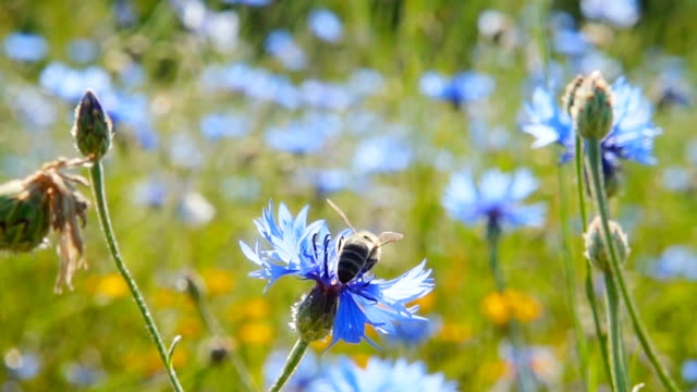 A bee collects nectar from blue flowers, slow motion video