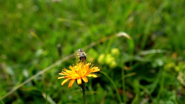 biene sammelt nektar aus blumencrepis alpina - wespe stock-videos und b-roll-filmmaterial