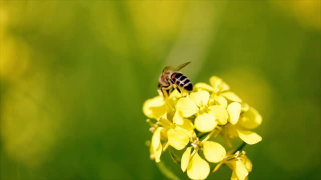 Bee collects nectar from mustard rapeseed flower slow motion. Bee collects nectar from mustard rapeseed flower slow motion. arthropod stock videos & royalty-free footage