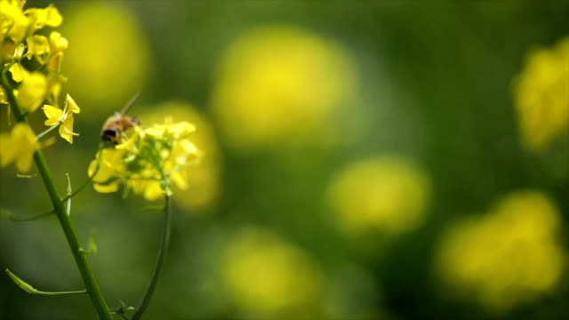 Bee collects nectar from mustard rapeseed flower slow motion.