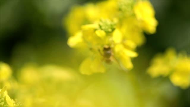 Biene sammelt Nektar aus Senf Raps-Blume-Slow-Motion. – Video