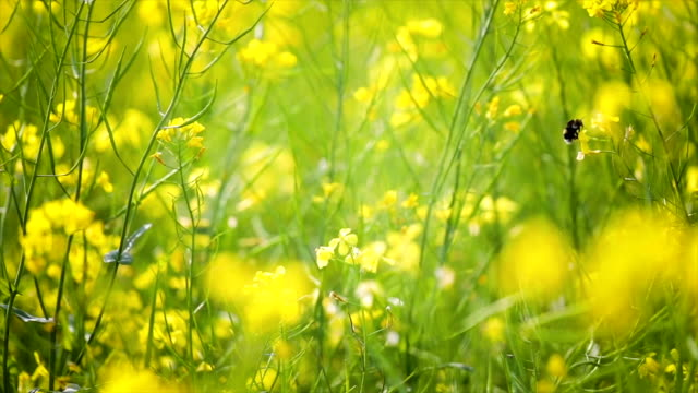 bee collects nectar from mustard rapeseed flower slow motion. - colza video stock e b–roll