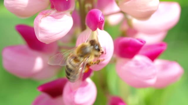 bienen sammeln nektar von rosa blumen von lupine - lupine stock-videos und b-roll-filmmaterial