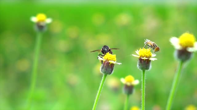 bee collects nectar from yellow flowers bee collects nectar from yellow flowers sac stock videos & royalty-free footage