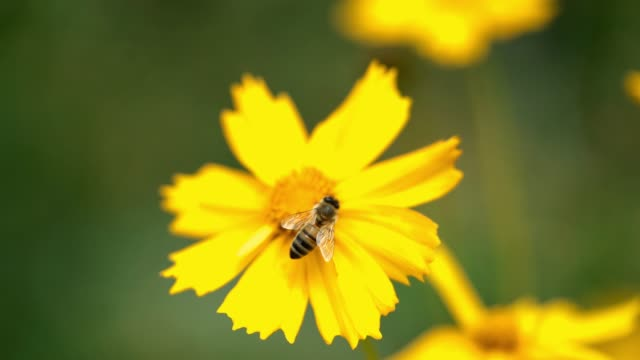 bee collects nectar in yellow flowers in summer herb garden. - coreopsis lanceolata video stock e b–roll