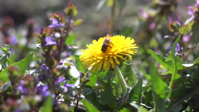 Bee collects nectar on a dandelion flower video
