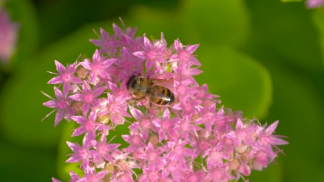 bee collects nectar on pink flower. top view - ape operaia video stock e b–roll