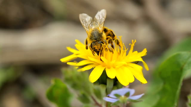 bee collects nectar bee collects nectar on dandelion pollen stock videos & royalty-free footage